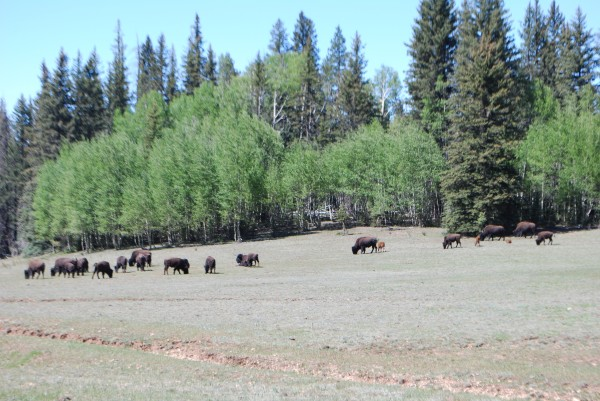 Buffalo/Beefalo Herd in Grand Canyon Park on North Rim