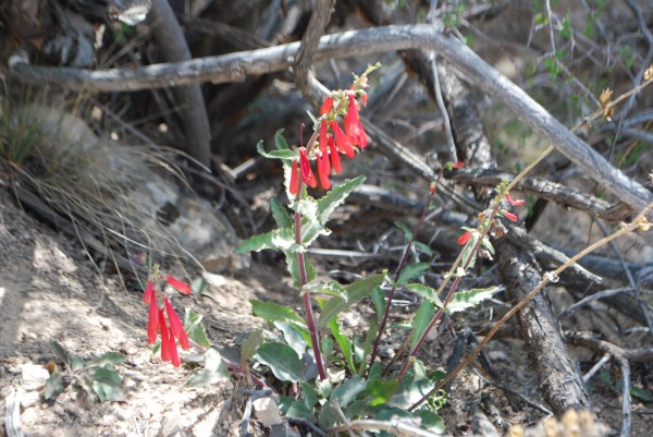 Penstemon Flower in the Grand Canyon