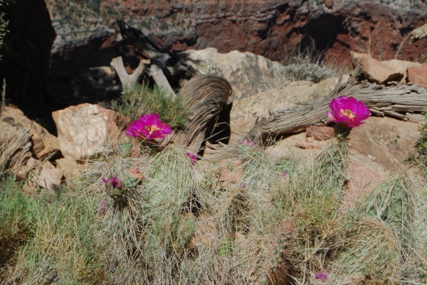 Grizzly Bear Prickly Pear in Grand Canyon