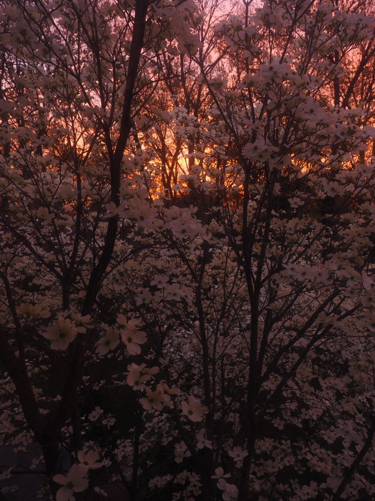 Dogwood during Sunrise