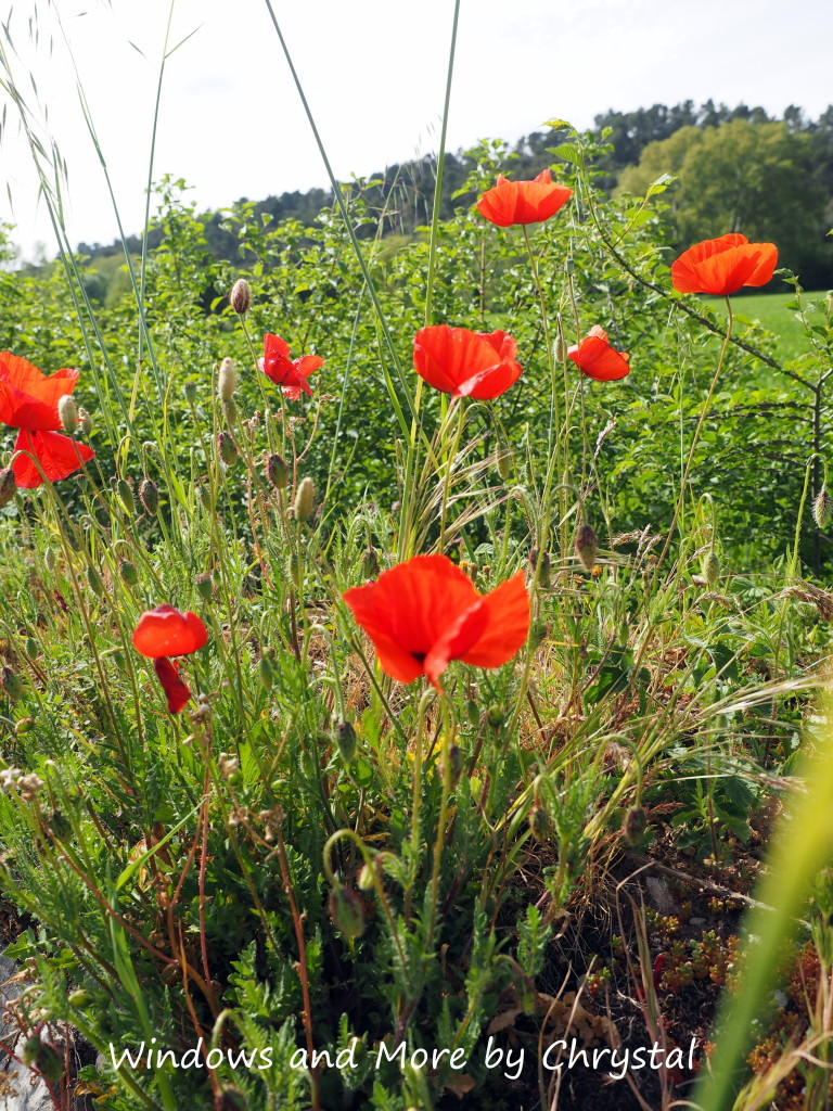 Poppies in the South of France